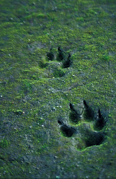 390px-Canis_lupus_tracks_in_sand.jpg
