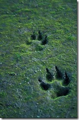390px-Canis_lupus_tracks_in_sand_thumb.jpg